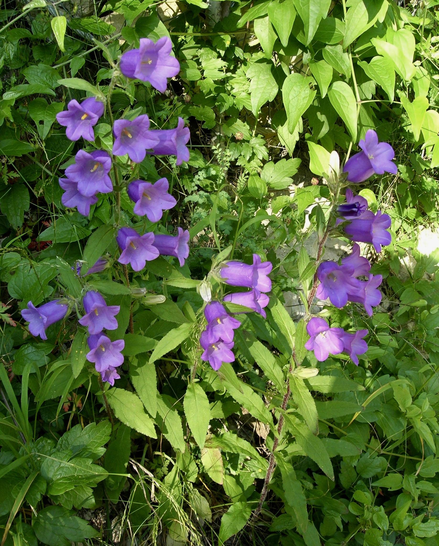 Campanule carillon - Campanulaceae